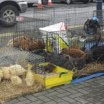 Poultry for sale - Bantry Market